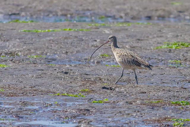 Long-billed Curlew, Bolinas Lagoon, California, Canon 7D with Canon EF 500mm, 1/2500s @ f/8, ISO 800
