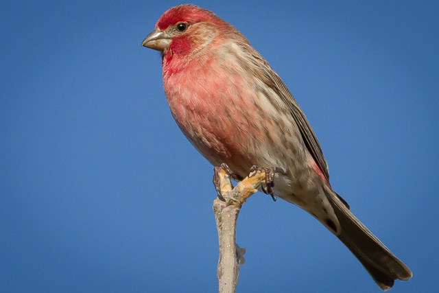 House Finch, Novato, California, Canon 7D with Canon EF 500mm, 1/2500s @ f/8, ISO 800