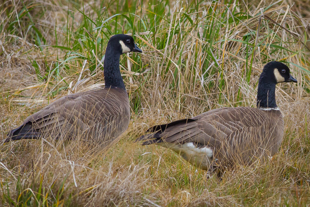 Cackling Geese, Humboldt Bay National Wildlife Refuge, California, Canon 7D with Canon EF 500mm, 1/1000s @ f/8, ISO 800