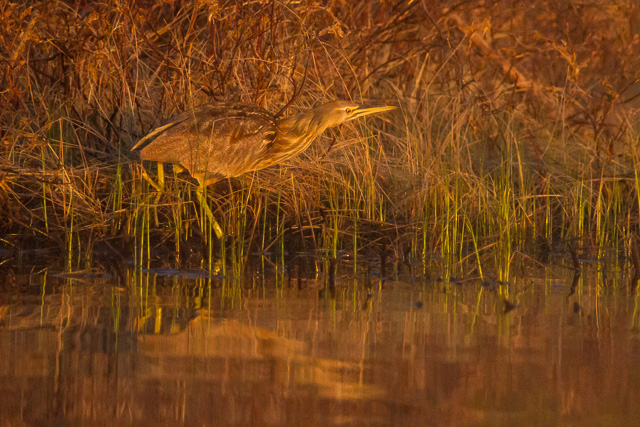 American Bittern, Rabbit Blanket Lake, Lake Superior Provincial Park , Ontario, Canon 7D with Canon EF 28-300mm @ 300mm, 1/5000s @ f/5.6, ISO 6400