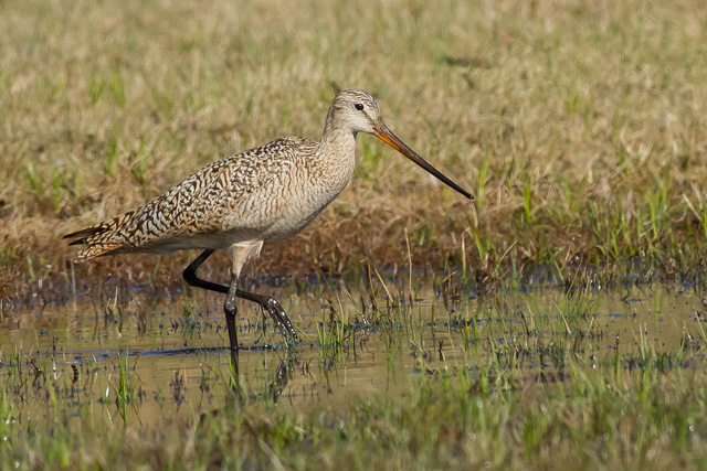 Marbled Godwit, Wawa Sewage Lagoons, Ontario, Canon 7D with Canon EF 500mm, 1/5000s @ f/8, ISO 1600