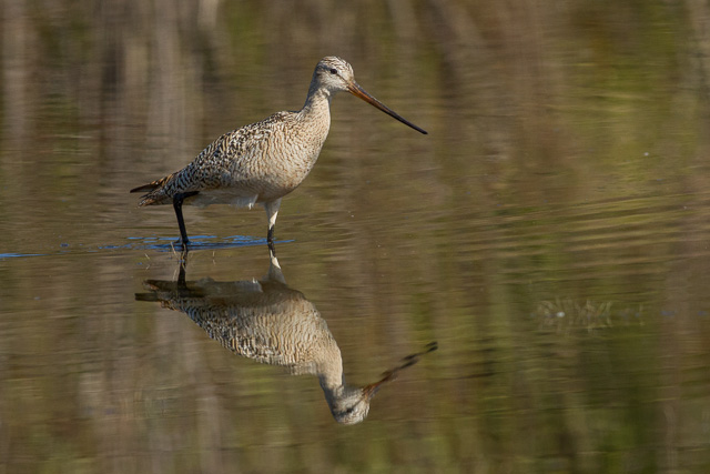 Marbled Godwit, Wawa Sewage Lagoons, Ontario, Canon 7D with Canon EF 500mm, 1/2500s @ f/8, ISO 1600