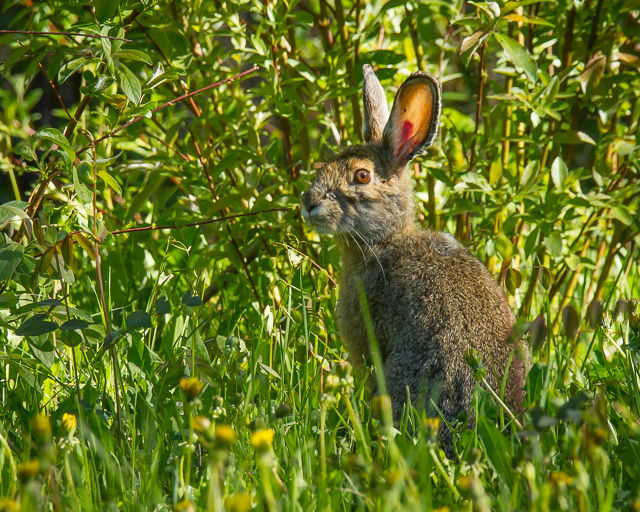 Snowshoe Hare, Parker Lake Ecological Reserve, Fort Nelson, British Columbia, Canon 7D with Canon EF 28-300mm @ 300mm, 1/1000s at f/8, ISO 1600