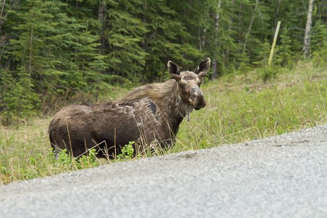 Moose, Alaska Highway west of Fort Nelson, British Columbia, Canon 7D with Canon EF 28-300mm @ 250mm, 1/640s at f/8, ISO 1600