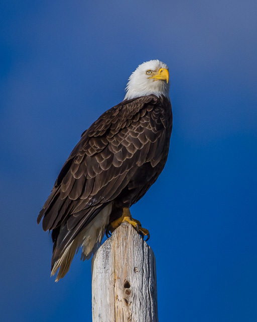 Bald Eagle, Atlin, British Columbia, Canon 7D with Canon EF 500mm, 1/8000s @ f/8, ISO 1600
