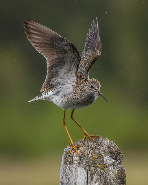 Lesser Yellowlegs, Hidden Lakes, Yukon, Canon 7D with Canon EF 500mm, 1/1250s @ f/8, ISO 1600