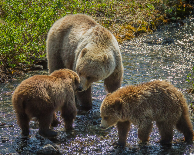 Grizzly Bear mother and cubs, Haines Road, Yukon, Canon 7D with Canon EF 28-300mm @ 170mm, 1/4000s @ f/8, ISO 1600