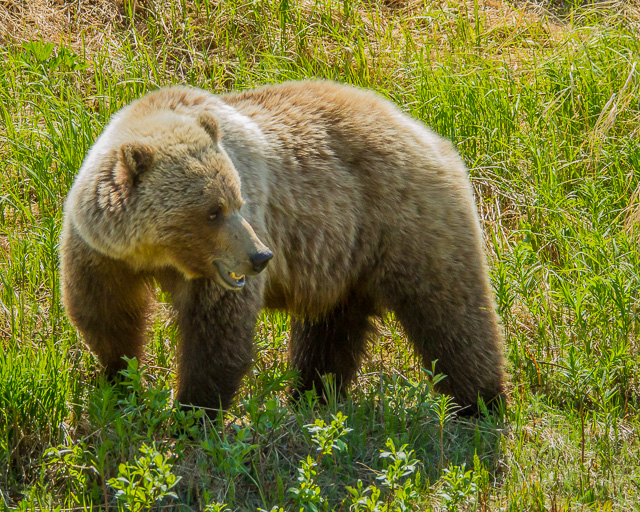 Grizzly Bear, Haines Road, Yukon, Canon 7D with Canon EF 28-300mm @ 170mm, 1/2000s @ f/8, ISO 1600