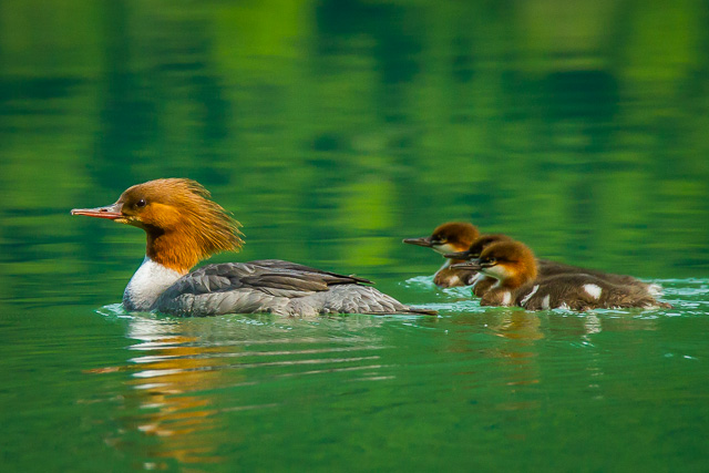 Common Mergansers, Chilkoot Lake, Alaska, Canon 7D with Canon EF 28-300mm @ 300mm, 1/2000s at f/8, ISO 1600