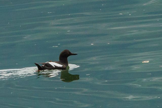 Pigeon Guillemot, Lutak Road, Haines, Alaska, Canon 7D with Canon EF 500mm, 1/500s at f/8, ISO 1600