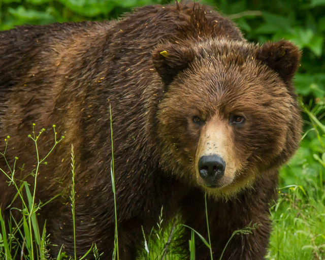 Grizzly Bear, Hyder, Alaska, Canon 7D with Canon EF 28-300mm @ 300mm, 1/320s at f/8, ISO 1600