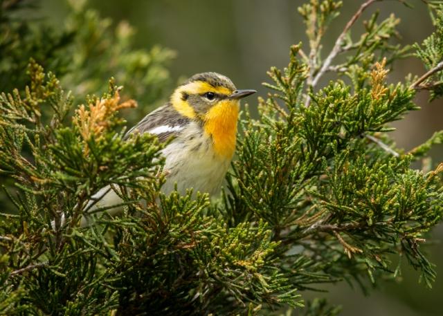 Blackburnian Warbler, Prince Edward Point National Wildlife Area, Ontario