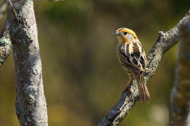 Le Conte's Sparrow, Prince Edward Point National Wildlife Area, Ontario