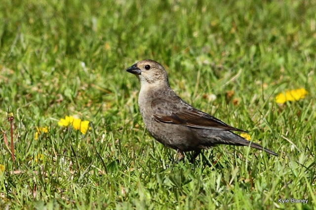 Brown-headed Cowbird, Prince Edward Point National Wildlife Area, Ontario, Canada