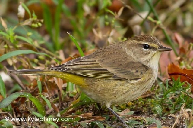 Palm Warbler, Vaill Point Park, Florida, USA