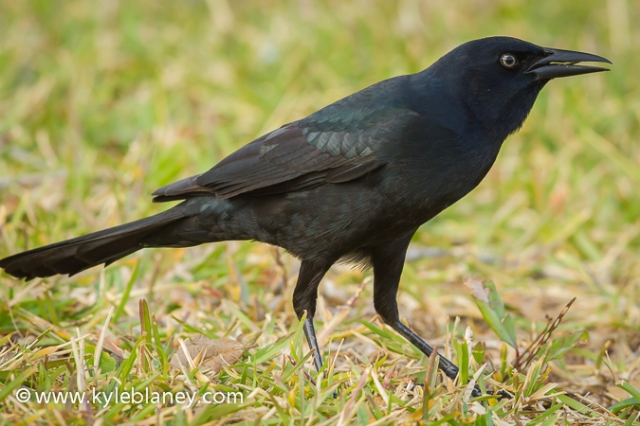 Boat-tailed Grackle, St. Augustine Beach, Florida, USA