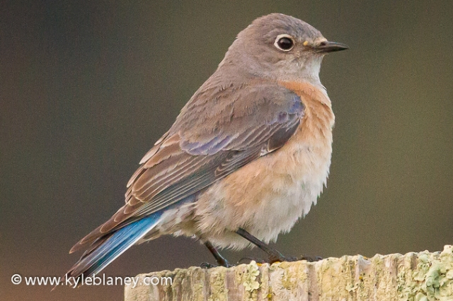Western Bluebird, Point Reyes National Seashore, California, USA