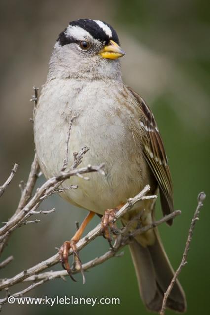 White-crowned Sparrow, Point Reyes National Seashore, California, USA
