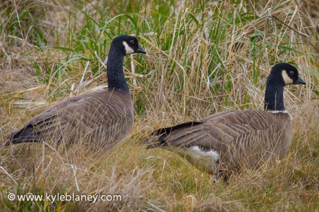 Cackling Goose, Humboldt Bay National Wildlife Refuge, California, USA