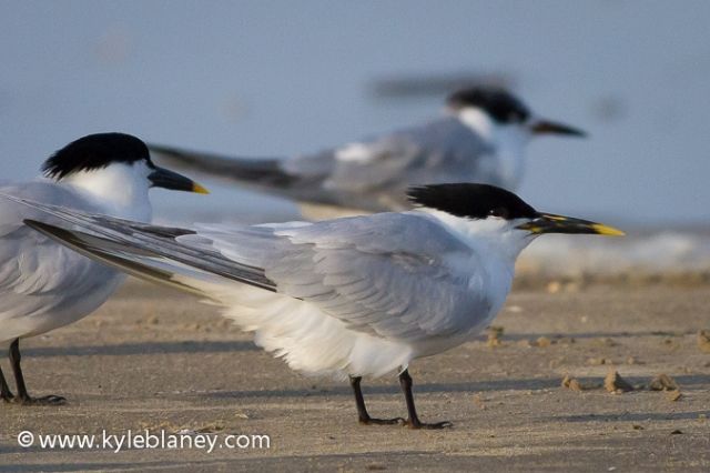 Sandwich Terns, Bolivar Flats Shorebird Sanctuary, Texas, USA