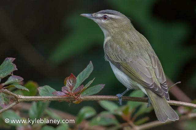 Red-eyed Vireo, South Padre Island Convention Center, Texas, USA