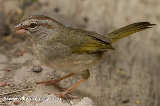 Olive Sparrow, Sabal Palm Sanctuary, Texas, USA
