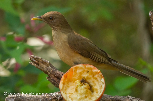Clay-colored Thrush, Sabal Palm Sanctuary, Texas, USA