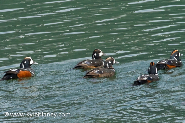 Harlequin Duck, Haines, Alaska, USA