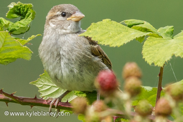 House Sparrow, George C. Reifel Bird Sanctuary, Delta, British Columbia, Canada
