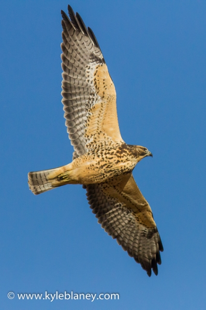Broad-winged Hawk, north of Saskatoon, Saskatchewan, Canada