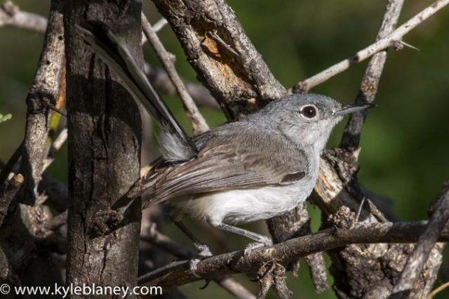 Black-capped Gnatcatcher, Montosa Canyon, Arizona, USA