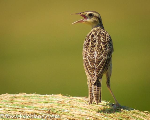 Western Meadowlark,Grasslands National Park - West Block, Saskatchewan, Canada