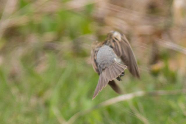 Aberrant dickcissel?, Prince Edward Point National Wildlife Area, Ontario, Canada