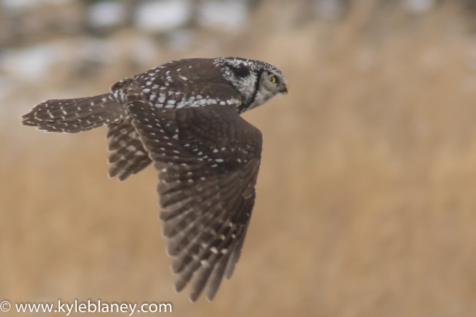 Northern Hawk Owl, east of Portage La Prairie, Manitoba, Canada