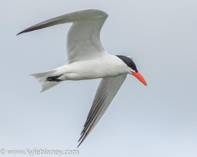 Caspian Tern, Wellington, Ontario, Canada