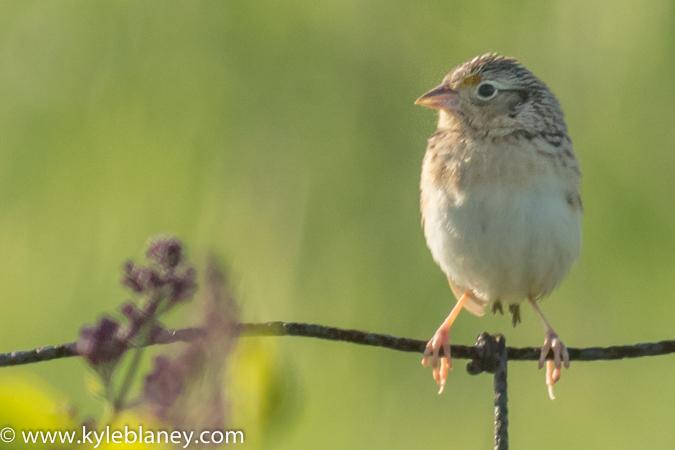 Grasshopper Sparrow, Prince Edward County, Ontario, Canada