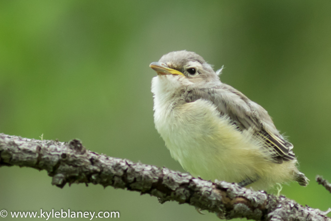 Cassin's Vireo, Wells Gray Provincial Park, British Columbia, Canada
