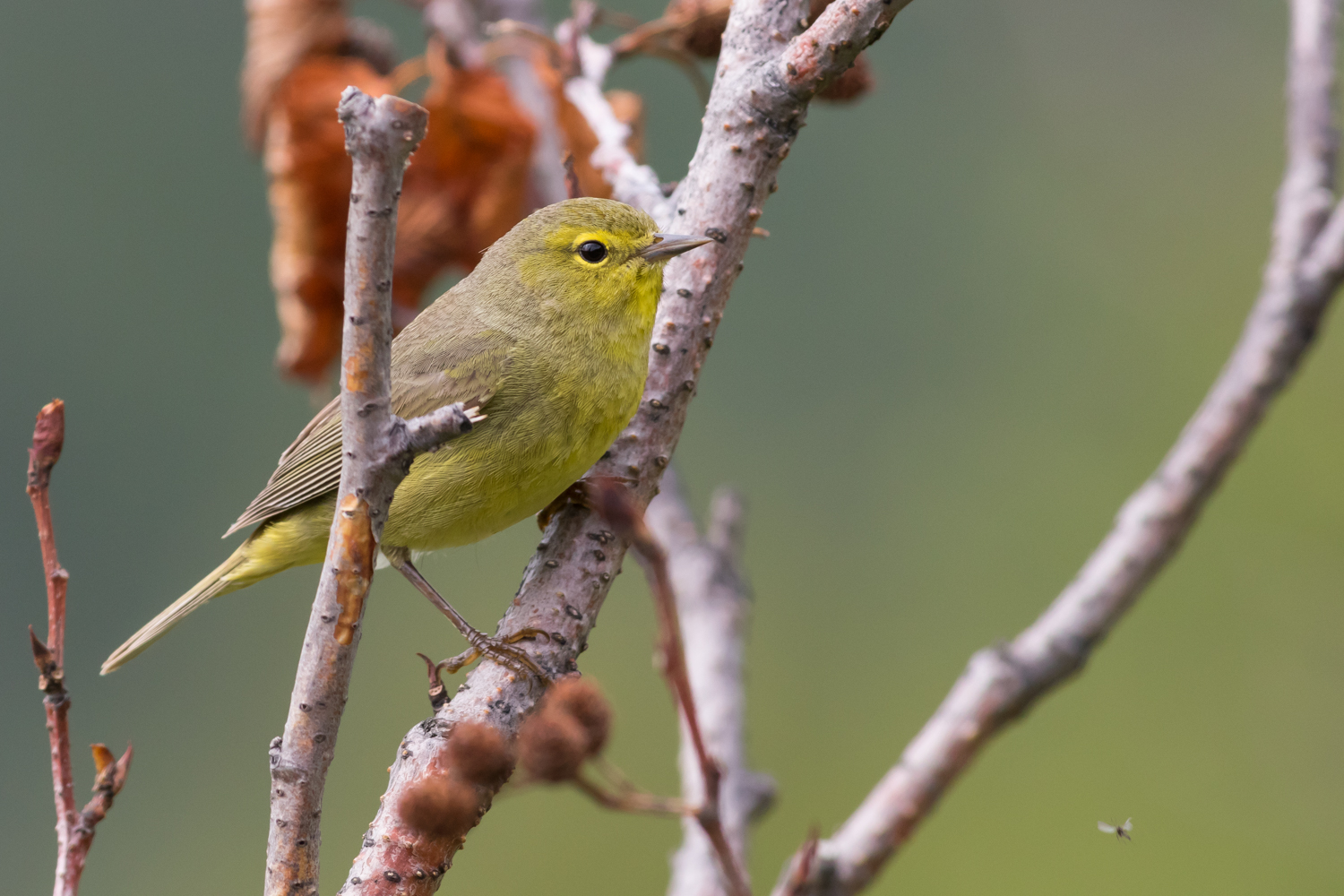 Orange-crowned Warbler, Anchorage, Alaska