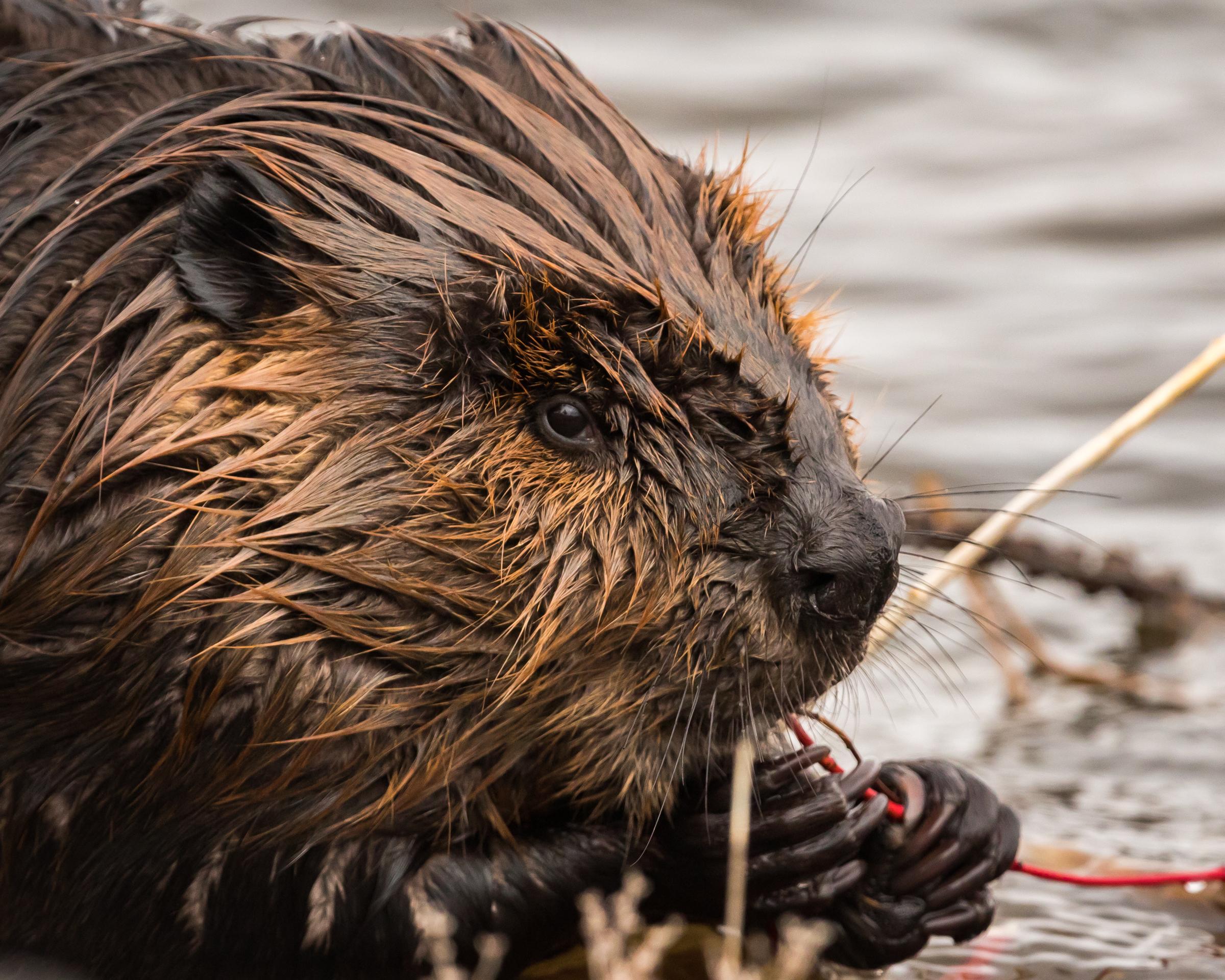 Canadian Beaver - Belleville, Ontario
