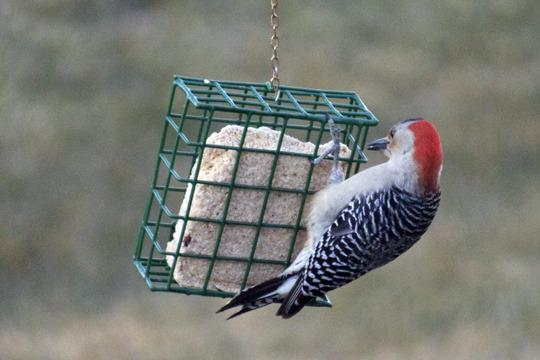 redbelliedwoodpecker.jpg