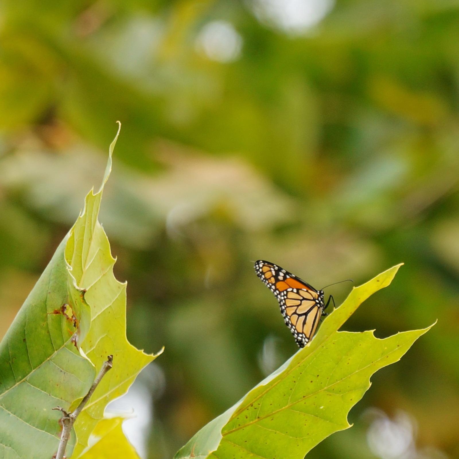 Monarch in fall.jpg