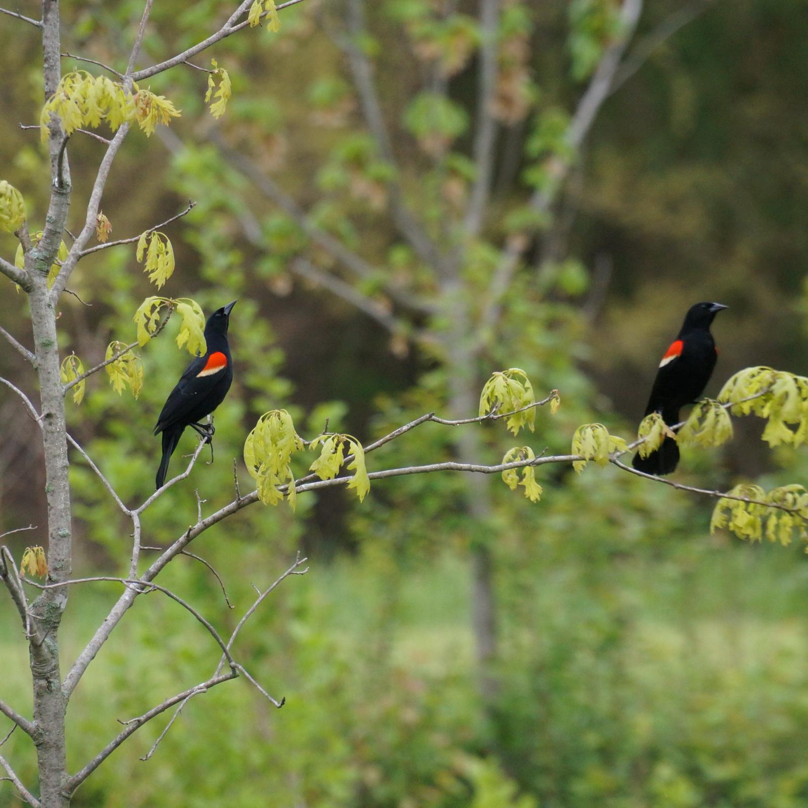 2 redwinged blackbirds_resize.jpg