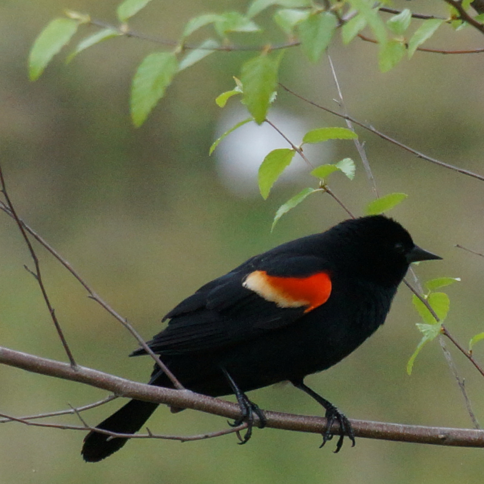 Redwing blackbird close_resize.jpg