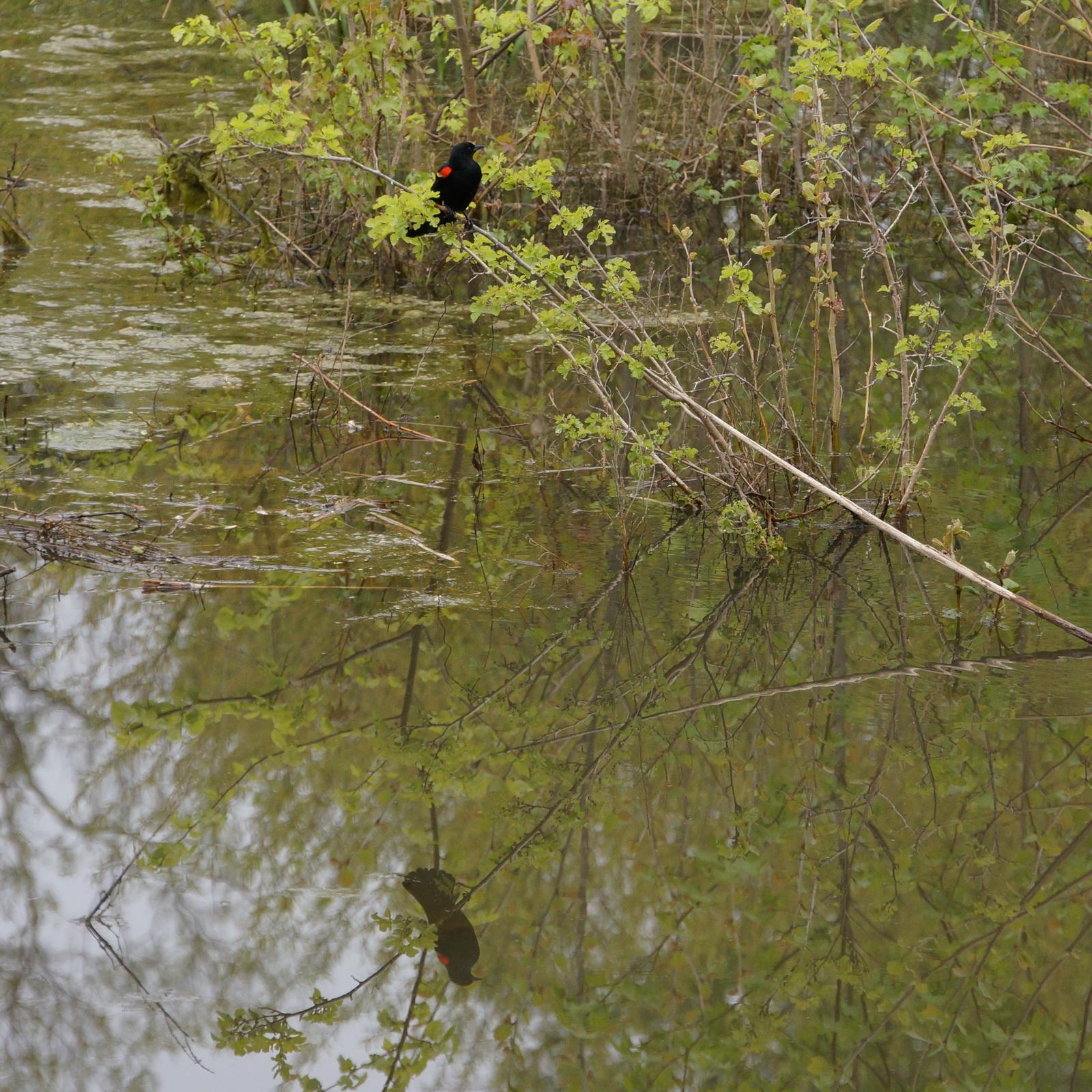 Redwing blackbird reflection_resize.jpg