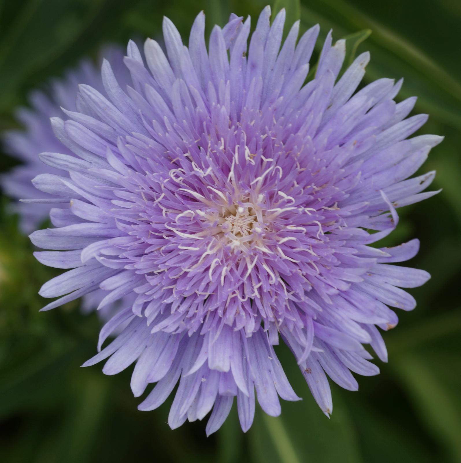 Blue flower_resize.jpg
