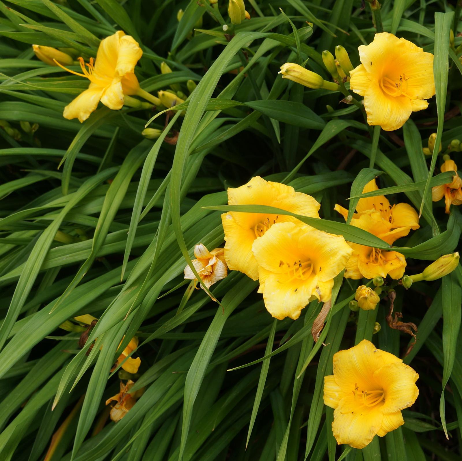 day lillies_resize.jpg