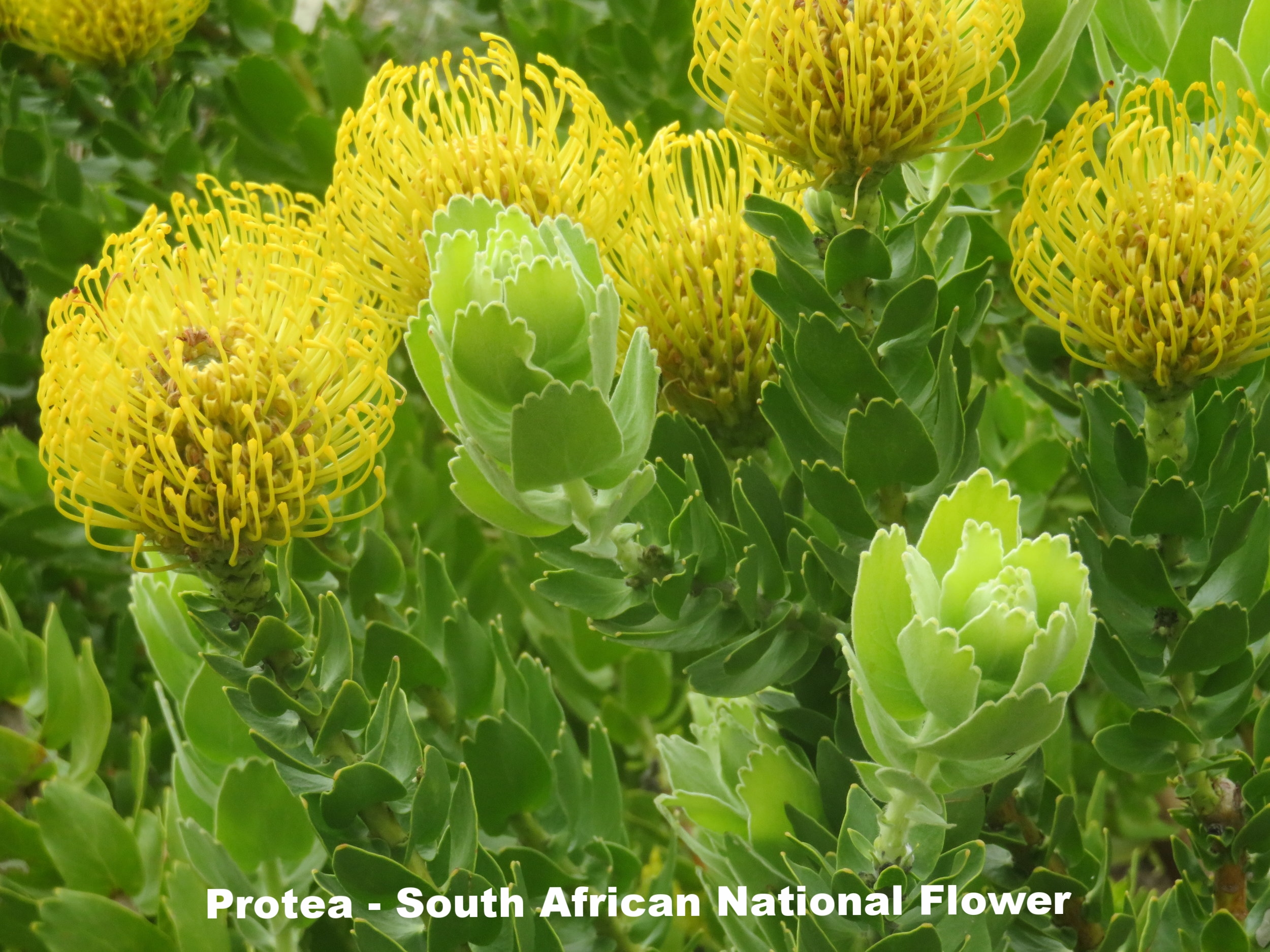 Protea - South African National Flower