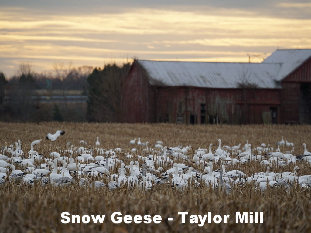 Snow Geese Taylor Mill Road