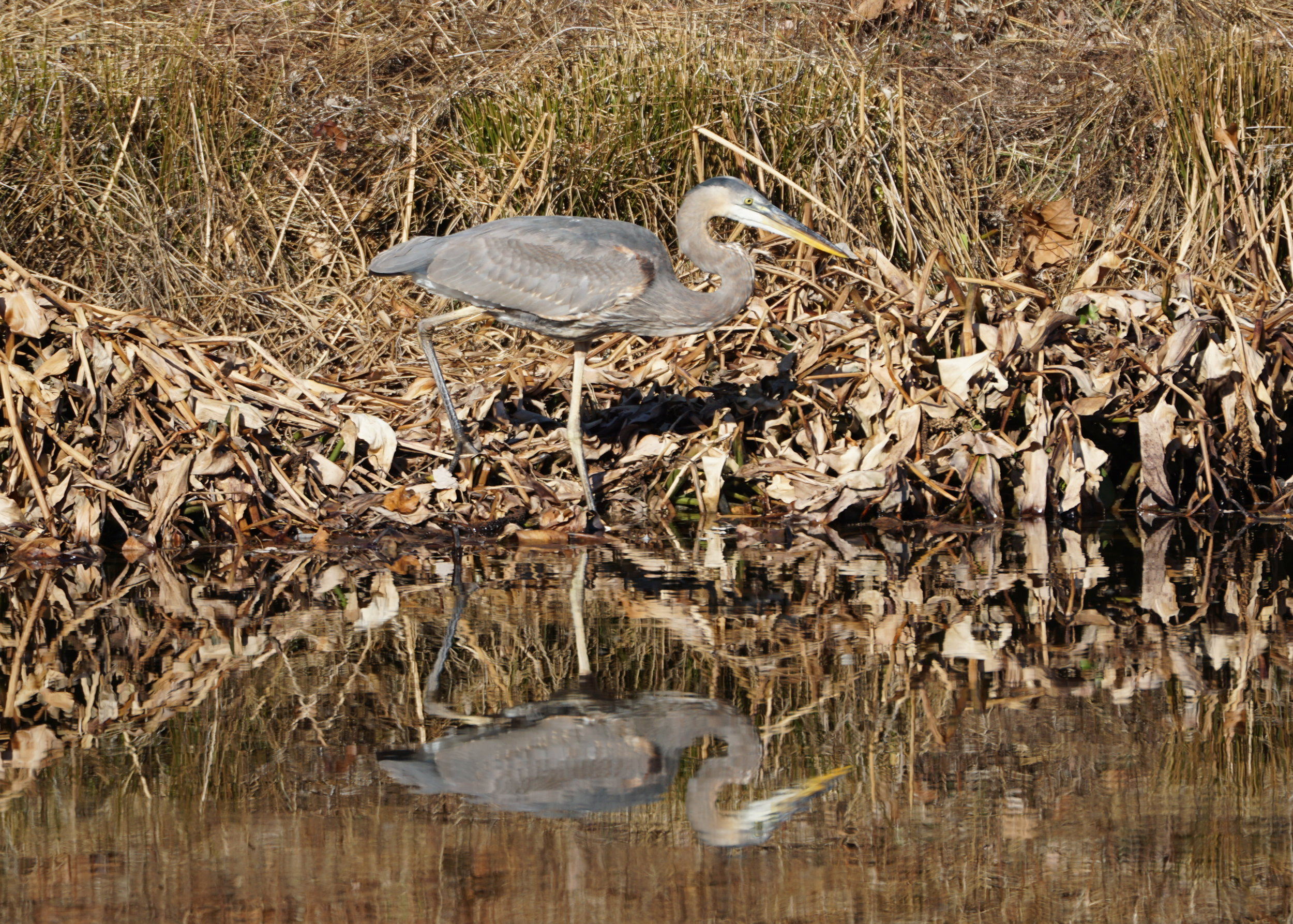 Blue Heron on Stormwater Pond 1.JPG