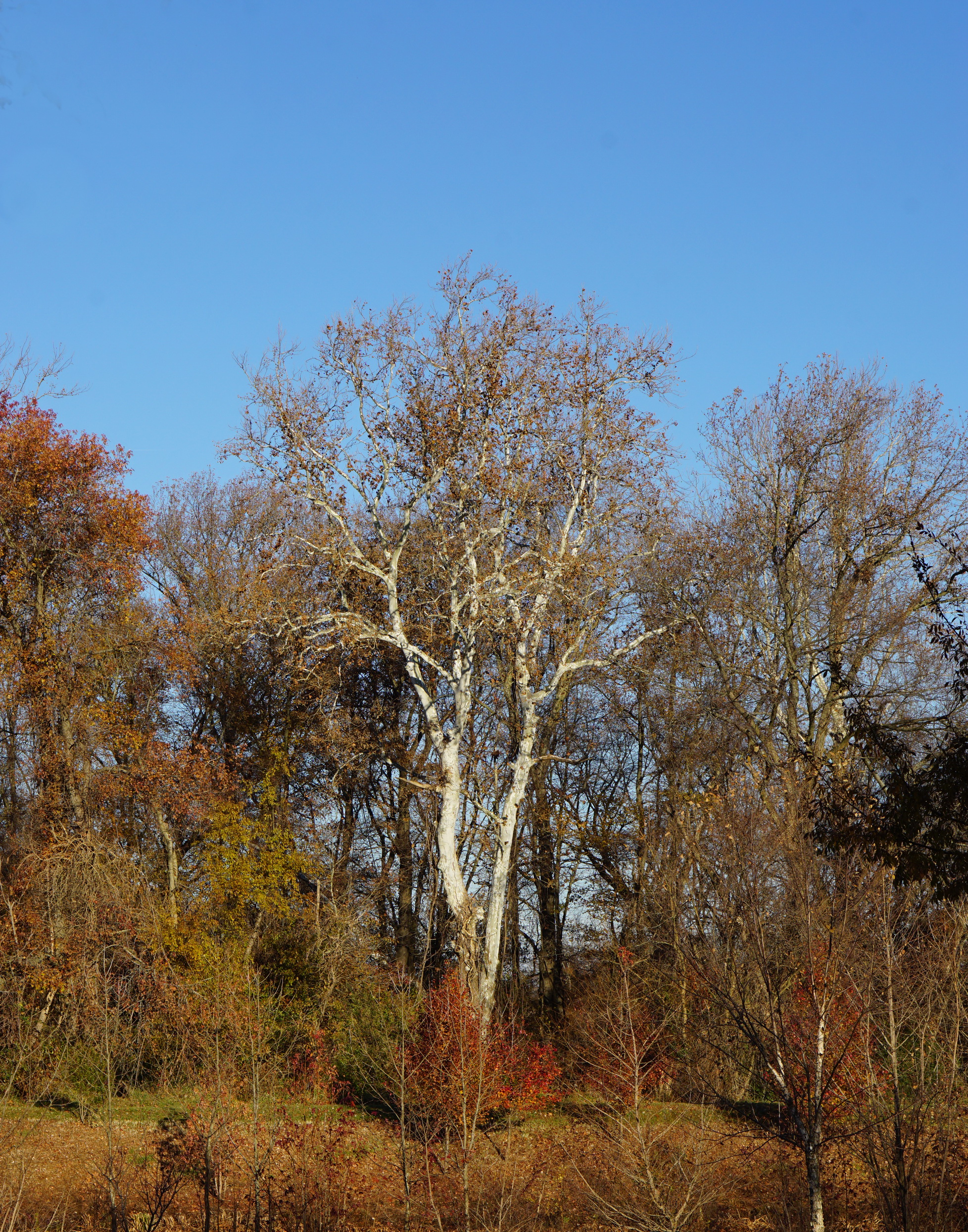 sycamore in fall morning.JPG